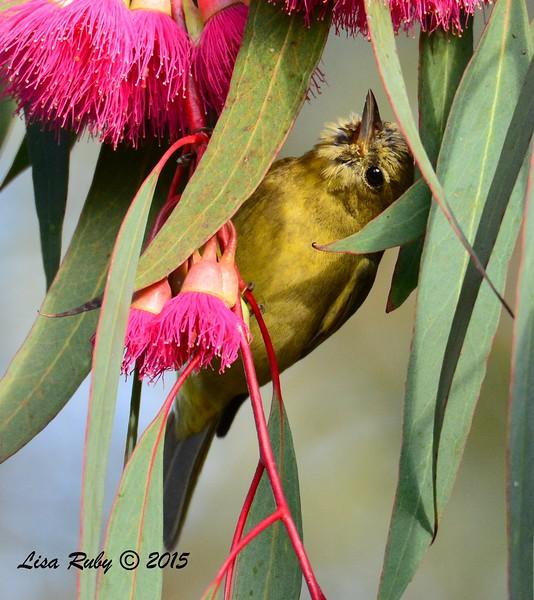 Orange-crowned Warbler  - 1/25/2015 - Tesoro Grove Way near Nestor Park