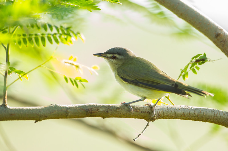 Red-eyed Vireo - South Padre Island, TX, USA