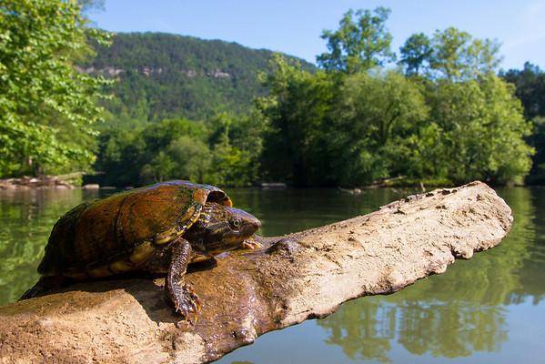 Musk Turtles (Kinosternidae)