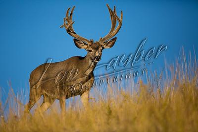 32659 Mule deer