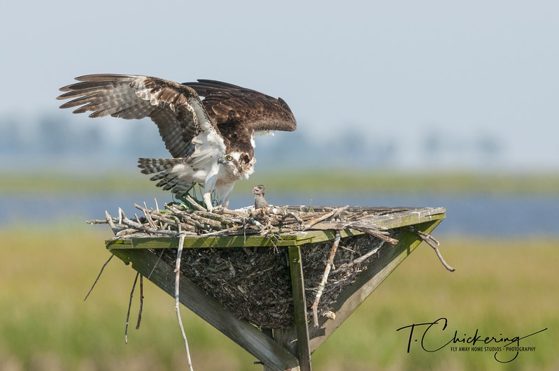 Osprey Mom Protecting Chick-1505772116563.jpg