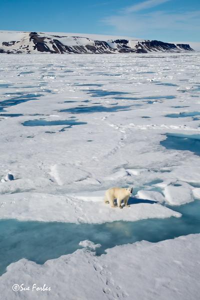 Polar Bear on the pack ice<br /> Polar Bear (Ursus maritimus) on the pack ice in Bjornsundet, Spitsbergen