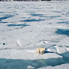 Polar Bear on the pack ice<br /> Polar Bear (Ursus maritimus) on the pack ice in Bjornsundet, Spitsbergen