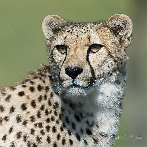 Cheetah_20070429_048 copy.jpg