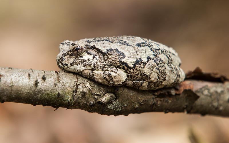 Grey Tree Frog FE Gate.JPG