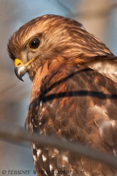 The Hawks of Fairfax County Parkway, Va.