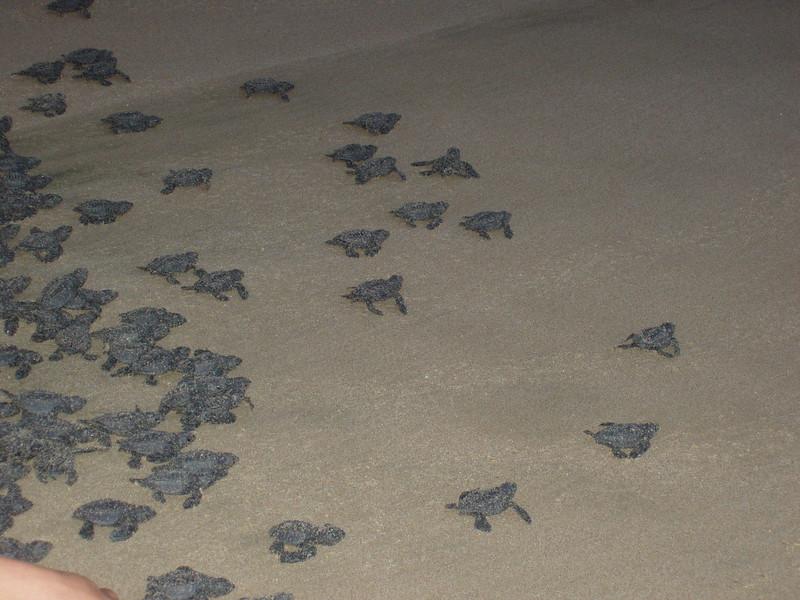 2007-11-30-0032-Las Alamandas in Jalisco, Mexico with Hahns-Sea Turtles Hatched from Rescued Eggs at Las Almandas.jpg