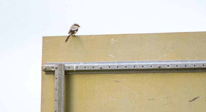 Loggerhead Shrike Pope County MN SLIDE SCAN BIRDS-41.jpg