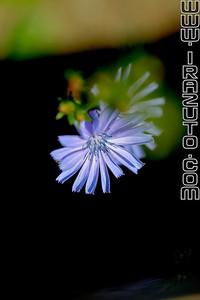 Chicorée sauvage - Chicory (Cichorium Intybus)