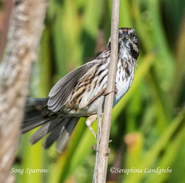 _DSC2315Song Sparrow.jpg