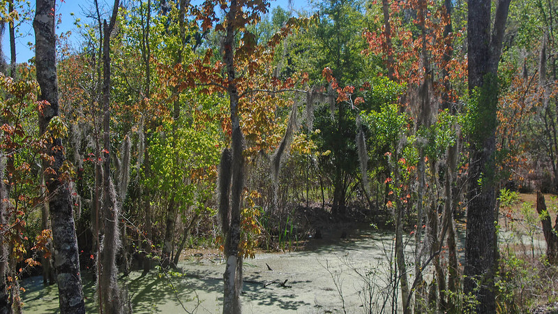 Red maples along a swampy ditch