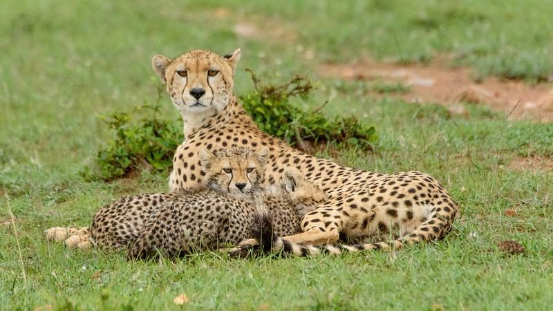 Nursing cheetah cubs