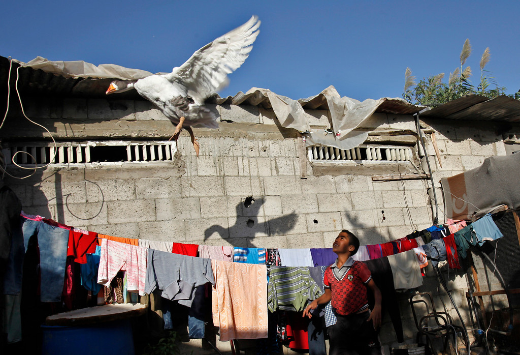 . In this Thursday, Sept. 12, 2013 photo, Rafah Alwadiya, 13, throws a goose in the air at his family house in Gaza City. The home of the extended Alwadiya family consists of a kitchen, several small bedrooms and an empty space devoted to cages full of pigeons and other birds. (AP Photo/Adel Hana)
