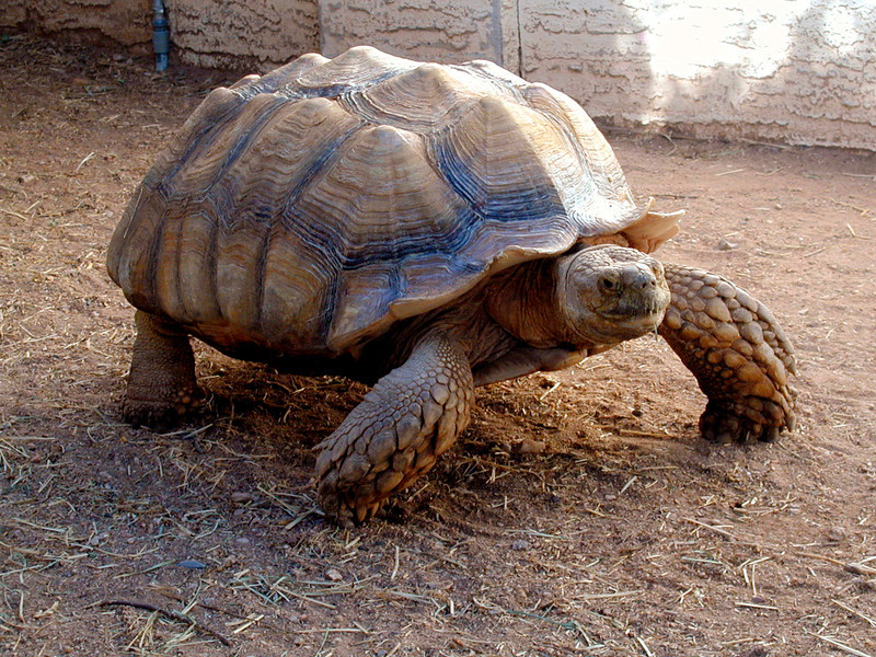 Tortoises can run!