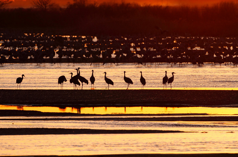 Sandhill cranes rest on a sandbar at sunset as a ribbon of color reflects off the river