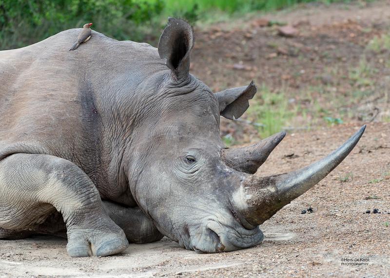 White Rhino, Ithala NP, KZN, SA, Jan 2014-6.jpg