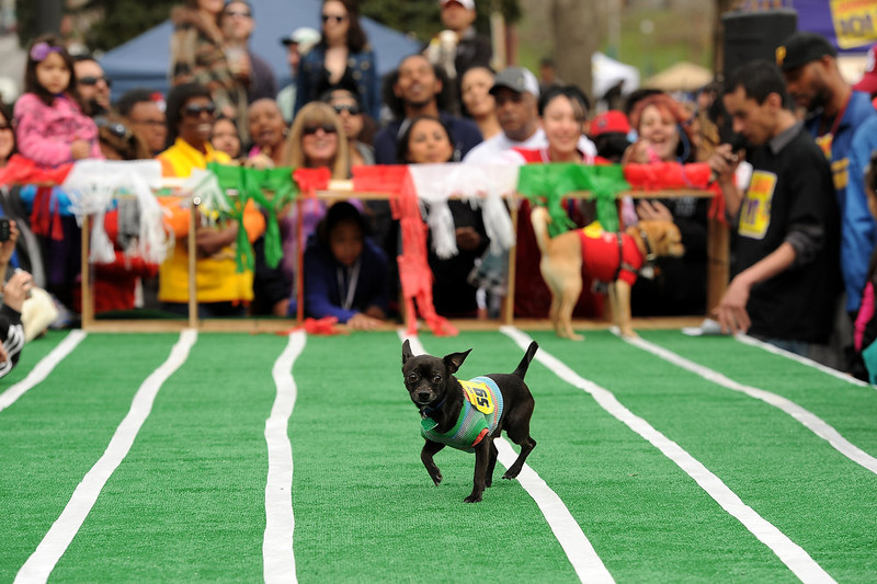 . Owners, in the background, try to encourage their Chihuahuas  to continue down the race track during  the 3rd annual Chihuahua race set up at the Center of the Park on May 5th, 2013.  The top prize for this year\'s winner was $500. Most of the dogs seemed  perplexed by all the attention and ran back towards the starting gates rather than the finish line.  The annual Cinco de Mayo celebration took place at Civic Center Park on May 5th, 2103 in Denver, CO.  Highlights this year were local traditional dancing, a taco eating contest , local bands playing traditional mexican music and Chihuahua dog racing where 132 dogs raced for the top prize of $500.(Photo by Helen H. Richardson/The Denver Post)