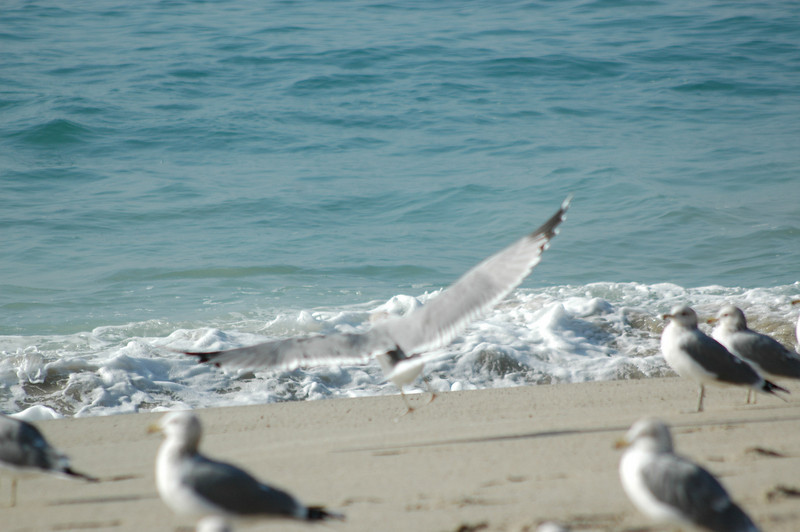 gulls (11).JPG
