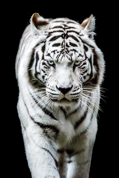 Bengal tiger front view
