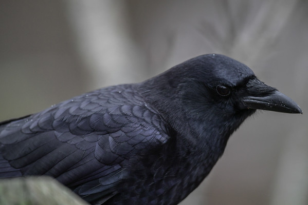 11-20-16 Crow RBS