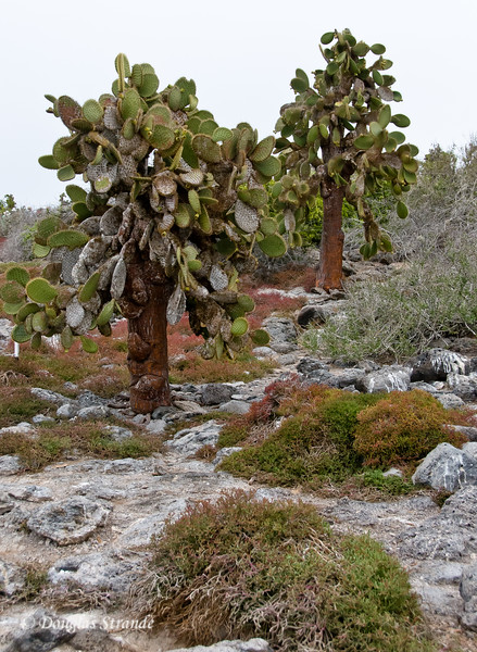 Opuntia Cacti on South Plaza Island