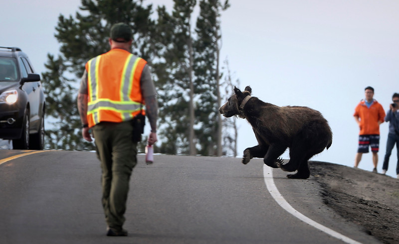 A female grizzly bear crosses a busy road surrounded by tourists and a park ranger in Yellowstone National Park, Wyo. on July 9, 2015.