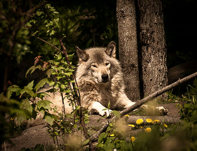 Wolves & Wildlife