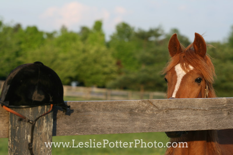 Young Horse Staring at Riding Helmet