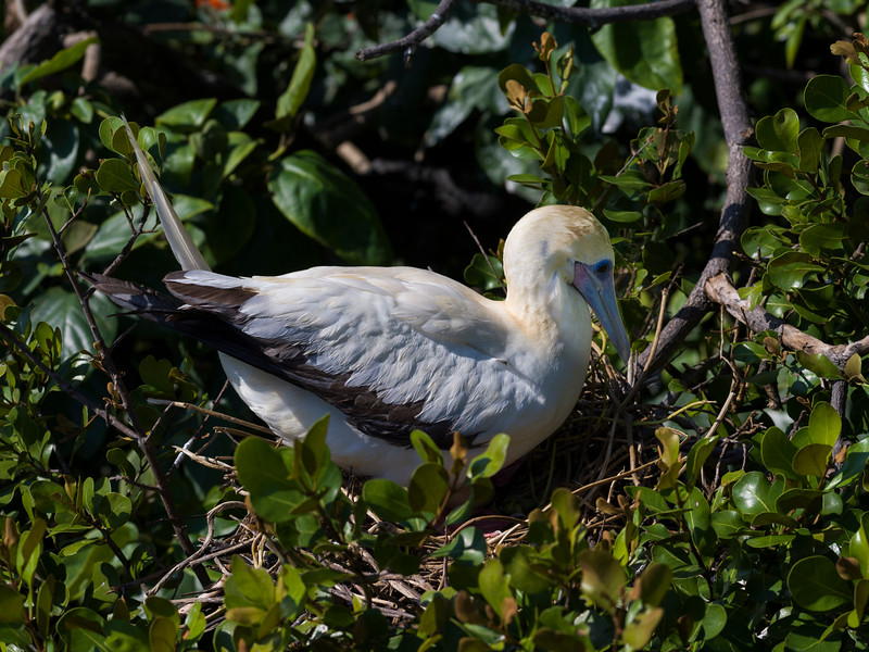 Close-up of red-footed booby in its nest, Half Moon Caye, Lighthouse Reef Atoll, Belize