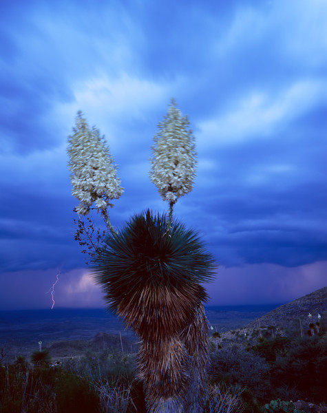 Sierra del Carmen, Coahuila, Mexico /  Wind blown Yucca, Yucca rostrata, on slope of the Sierra del Carmen, with lightning storm in background. 505V4