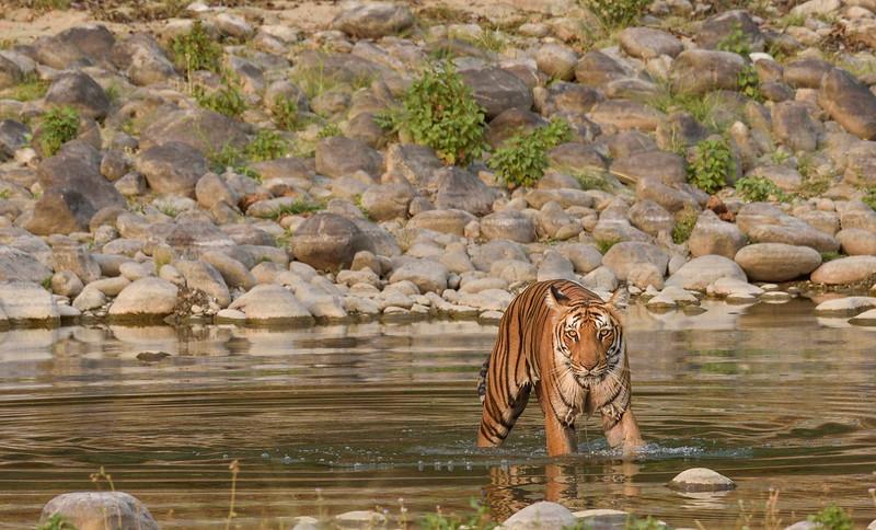 Tigress-Paarwali-Corbett-Dhikala.jpg