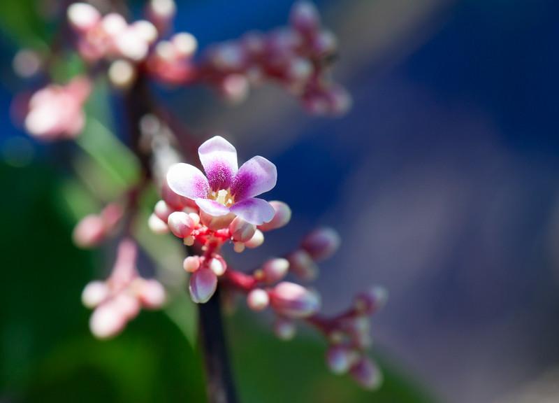 starfruit blossom
