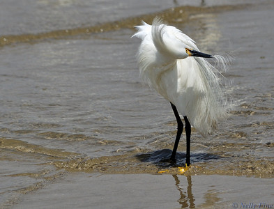 Egret,West Medow Beach, Long Island,NY.Summer2010