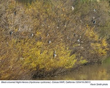 Black-Crowned Night-Herons A29013.jpg