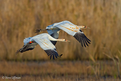 Whooping Cranes Reintroduction Project