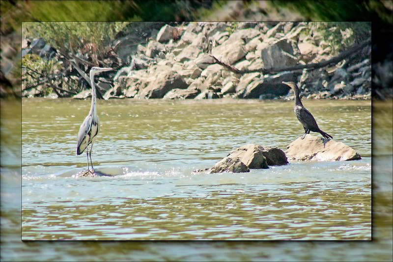 Grey Heron and Comorant at the edge of the Danube
