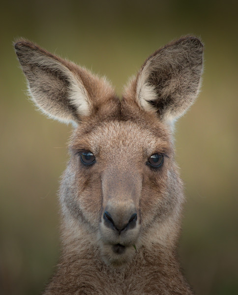 Eastern grey kangaroo, Sunshine Coast, Australia
