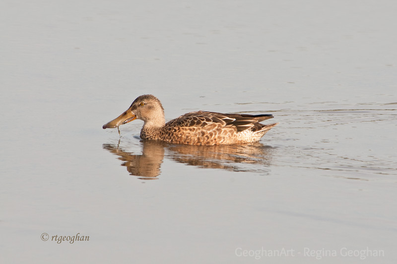 Nov 3_ Ducks Northern Shoveler Female_7679.jpg