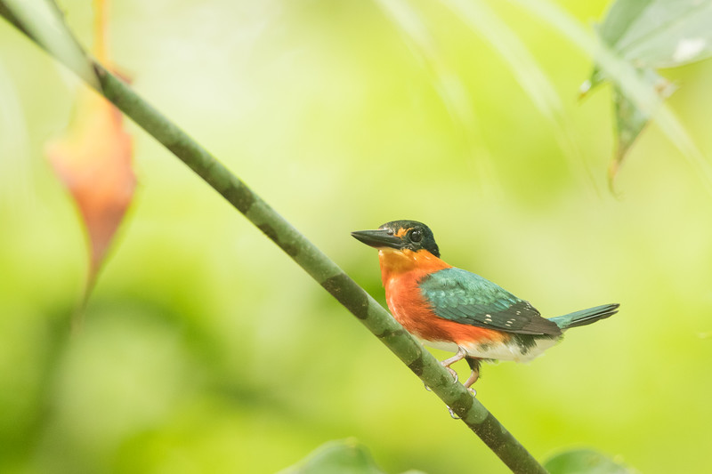 American Pygmy Kingfisher - Record - Amazon, Ecuador