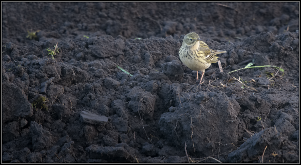 Graspieper/Meadow Pipit