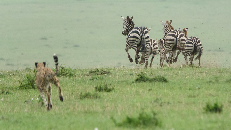 Cheetah Hunting Zebra