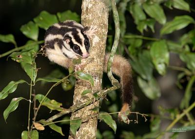 Striped Possum (Dactylopsila trivirgata)