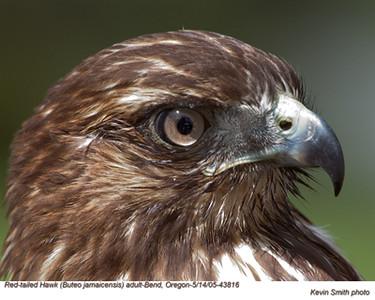 Red-tailed Hawk43816.jpg