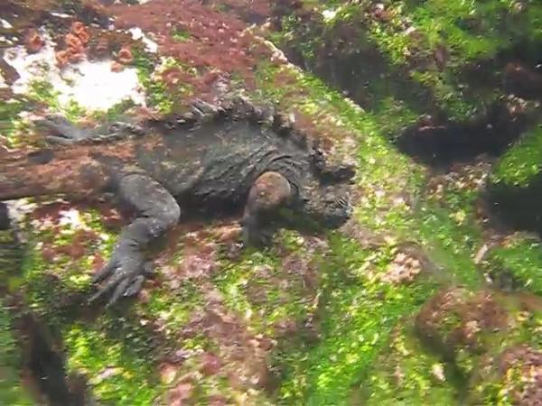Marine iguana feeding underwater, Galapagos