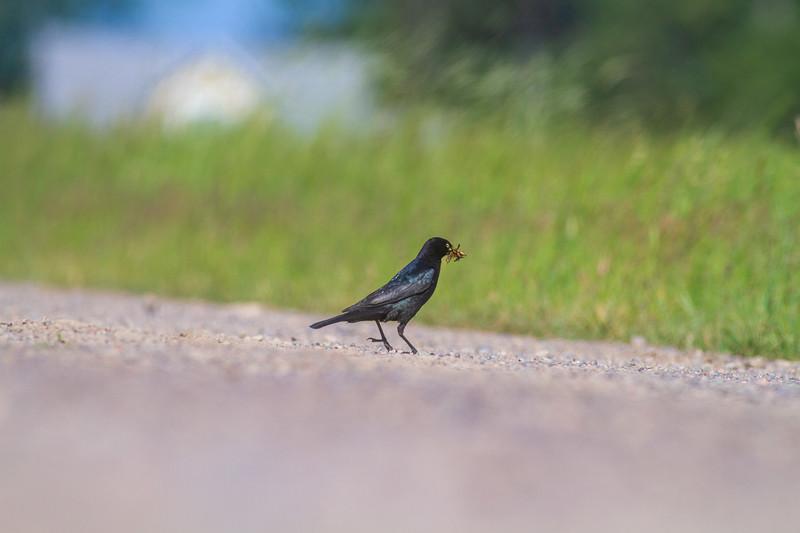 Brewer's Blackbird Racek Road Sax-Zim Bog MN  IMG_0169.jpg