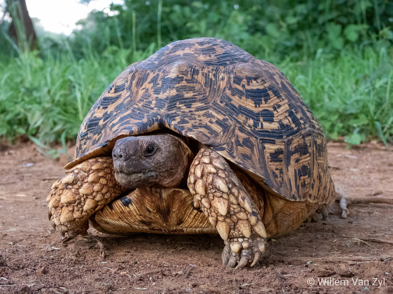 20190219 Leopard Tortoise (Stygmochelis pardalis) from Thabazimbi, Limpopo