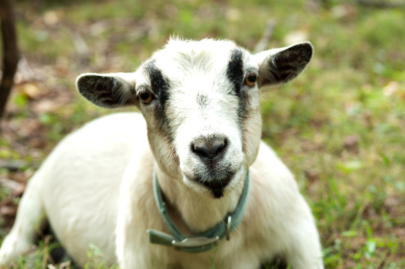 goats225404.jpg