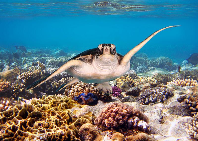 GREEN TURTLE - RED SEA