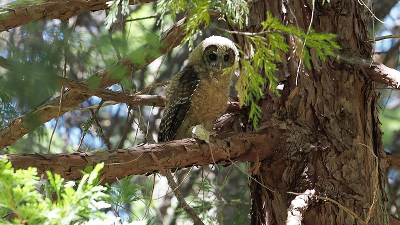 200712-Spotted Owls Butte County-7129730.mp4