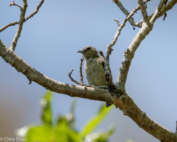 Nilgiri Flowerpecker along Hwy 67 to Ooty, India (02-23-2015) 054-8.jpg
